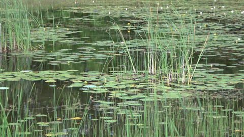 Large pond with lily pads, aquatic plants,vibrant green trees and deep blue sky Footage