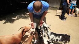 Feeding Goats Footage