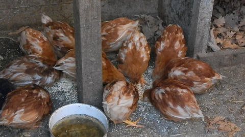 Chickens rush on the farm feeding them 1 Footage