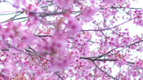 Cherry blossoms 영상물