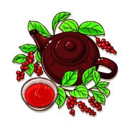 schisandra tea illustration Vector