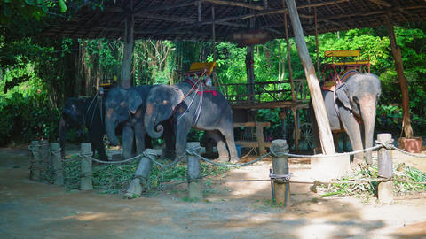 Asian elephants in the tropics, safari for travelers and tourists, walks through GIF