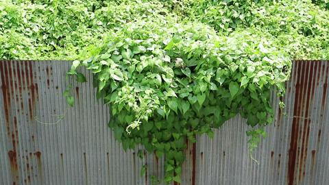Overgrown wild vine crossing rusty metal fence GIF
