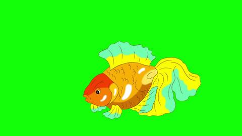 Multicolored Goldfish Floating in Aquarium Chroma Key Animation