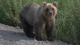 Kamchatka brown bear stands on roadside of gravel country road Footage