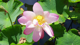 Lotus flowers and bees Footage