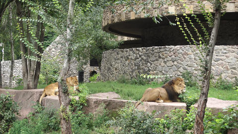 Lions Animals Are Resting GIF