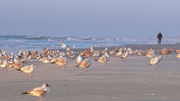 4K Flock Of Seagulls On The Beach 3862 stock footage