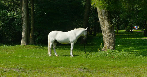 White horse on pasture Footage