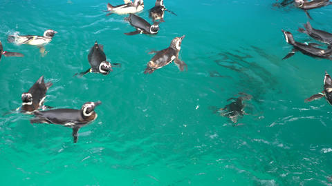 Penguins swim Live Action