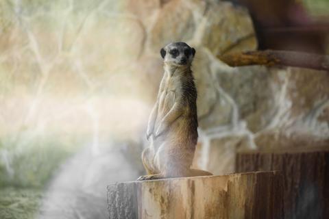 Meerkat standing up on a stump フォト