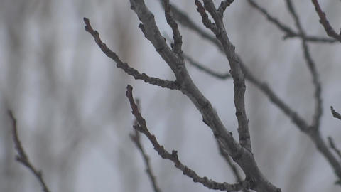 Trees under the snow. snowy blizzard in winter. the snow falls on the branches Live Action