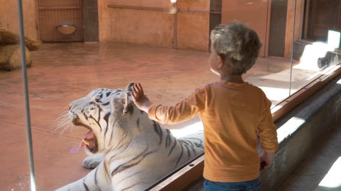 White tiger yawns at the zoo Footage