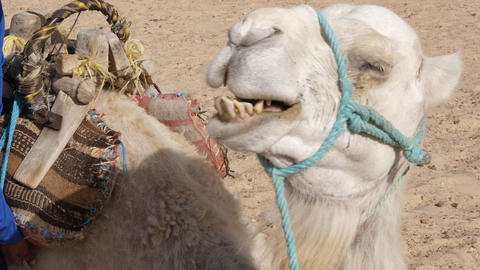 Head of white camel in hot desert close up. Muzzle of camel in Sahara desert Footage