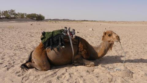Brown camel lying on sand in hot desert. Close up dromedary camel in desert Live Action