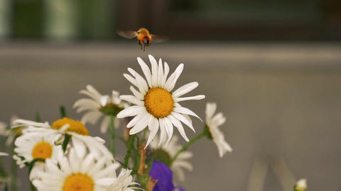 Bee flying on flower in slow motion Footage