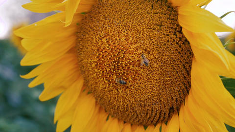 Bee pollenizing the sun flower close up slow motion Footage
