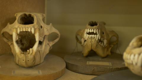 Carnivorous Animals Skulls Live Action
