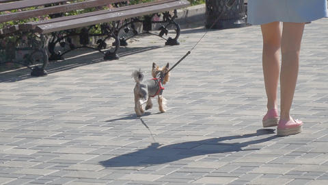 Yorkshire Terrier dog goes on a leash along the street 영상물