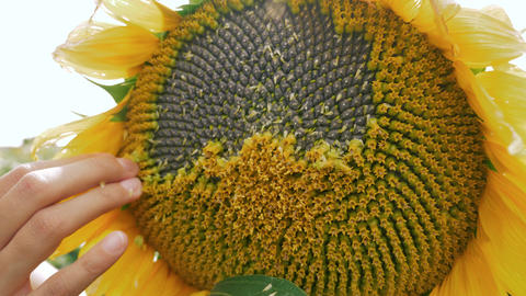 Peeling the sunflower to see the seeds behind Footage
