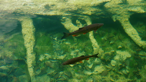 Wild fish eating in a crystal clear lake water Live Action