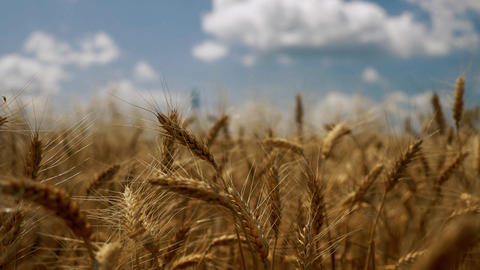 Wind blowing into the grain Footage