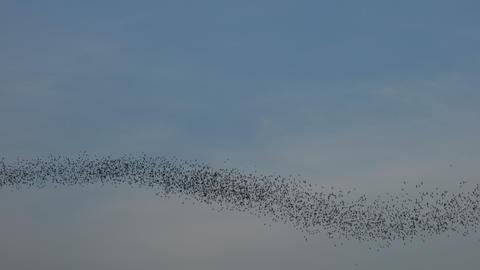Bat swarm flying Footage