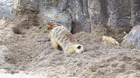 Meerkat Small beautiful and lovely mammal Footage