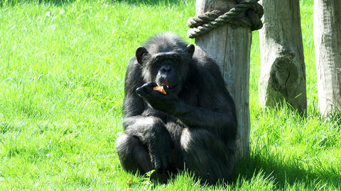 A chimpanzee (Pan Troglodytes) eating a vegetable. Portrait of the chimpanzee Footage