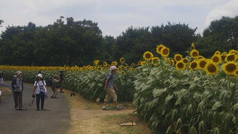 Road beside Sunflower field at Tachikawa medium shot Live Action