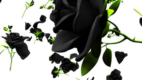 Falling Black Roses On White Background Animation