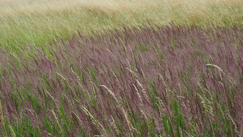 Wind on the grass. Blooming grasses in a meadow Live Action