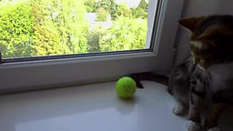 Cat plays with a tennis ball Stock Video Footage