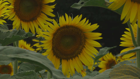 Sunflowers in the park at Tachikawa close shot mild wind Footage