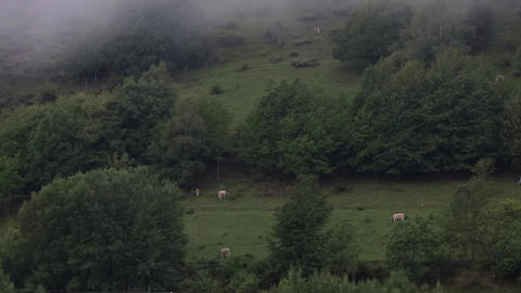Meadow with fog and cows.Time lapse Footage