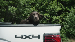 4K Dog in the Back of a Truck Footage