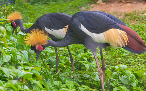 Black Crowned Crane two birds are eating food フォト