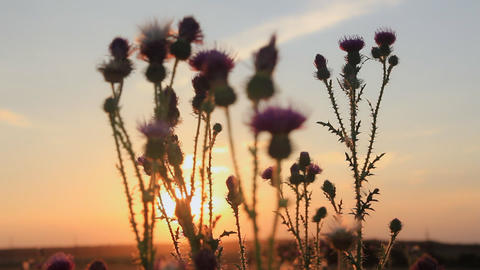 Thistle on sunset background 영상물