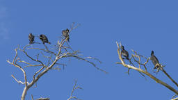 The great cormorants are sitting on a trees. Phalacrocorax carbo Live Action