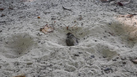 Sparrow bathes in dry sand close up Live Action