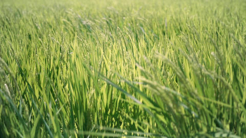 Rice panicle shaking in the wind GIF