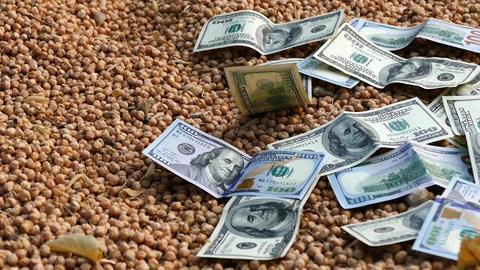dry chickpeas harvest and 100 USD Footage