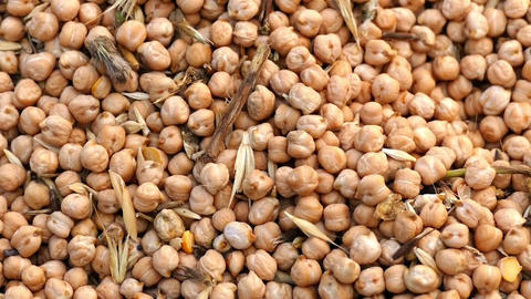 harvested dry chickpeas and farmer,chickpeas are being prepared for marketing Live Action