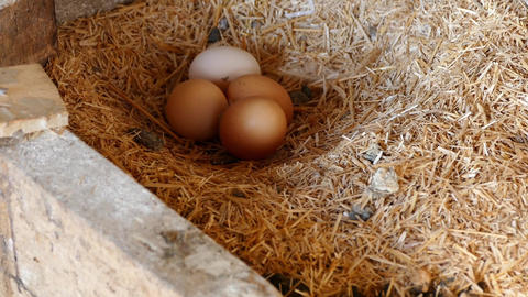 natural organic chicken eggs, in the coop,poultry natural chicken eggs Footage