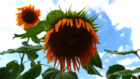 sunflower cultivated fields, natural sunflower seeds, sunflower cultivated Live Action