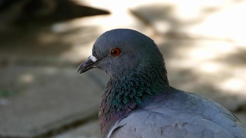 close-up pigeon head Footage