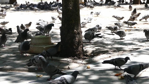 pigeons fed in the park, hundreds of pigeons in the city park Live Action