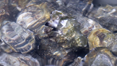 Oyster in water Footage