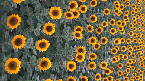 Full bloom of sunflower Footage