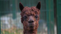 An alpaca (Vicugna pacos) portrait Live Action